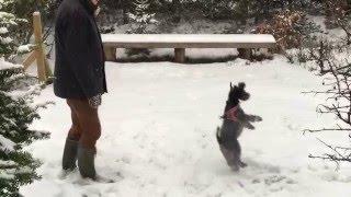 Lucy dværgschnauzer danser og hopper i sneen, januar 2016