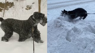 MIND BLOWING GIANT SCHNAUZERS