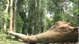 fallen tree sound effects - efek suara pohon tumbang