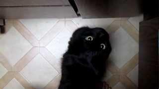 """しおちゃん、「おかえり」「うなぅ」 Theo the cat says """"Okaeri"""" and waits for dinner."""