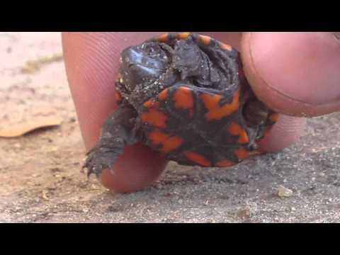 Eastern Mud Turtle Hatchling