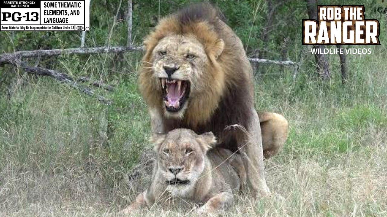 Lion Youtube