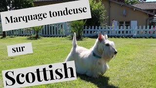 Toilettage  du scottish Terrier