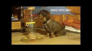 Dachshund Livvy's New Intelligent Dog Toy / Livvys Neues Intelligenzspiel