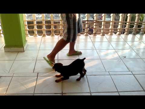 Entrenando un rottweiler