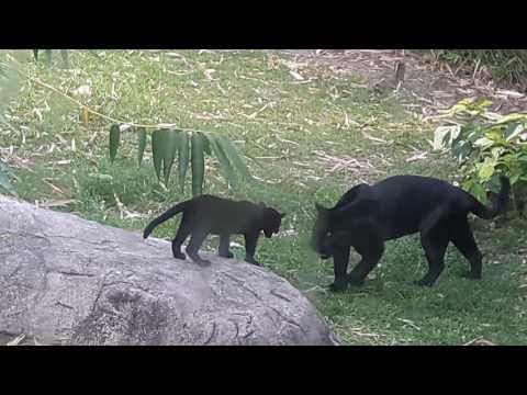 Panthère noire et son bébé
