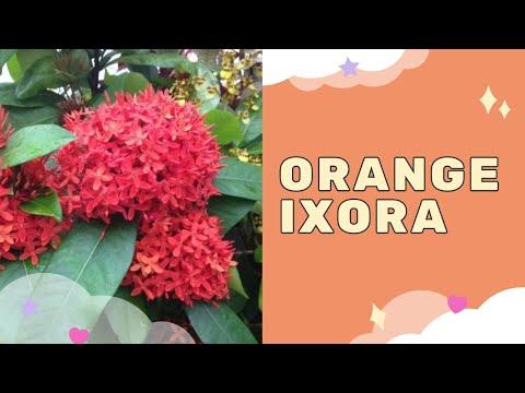 IXORA | RUGMINI PLANT | RANGAN | CHETHI | VEDCHHI | SANTAN HERBAL MEDICINE (IN INDIA) | NATURE