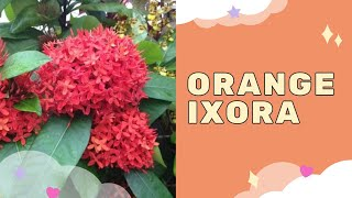 ixora   rugmini plant   rangan   chethi   vedchhi   santan herbal medicine in india   nature