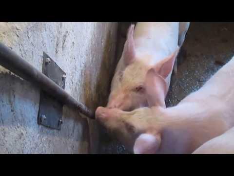 Ниппельная поилка для свиней овец коз телят своими руками