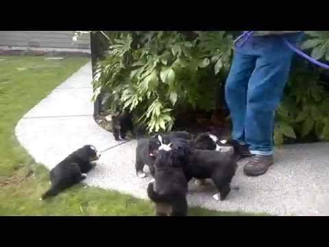 5 week old Bernese Mt Dog pups first adventure outdoors