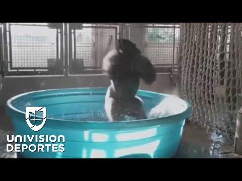 Zola, la gorila que se ha robado el show en las redes con sus dotes de bailarina