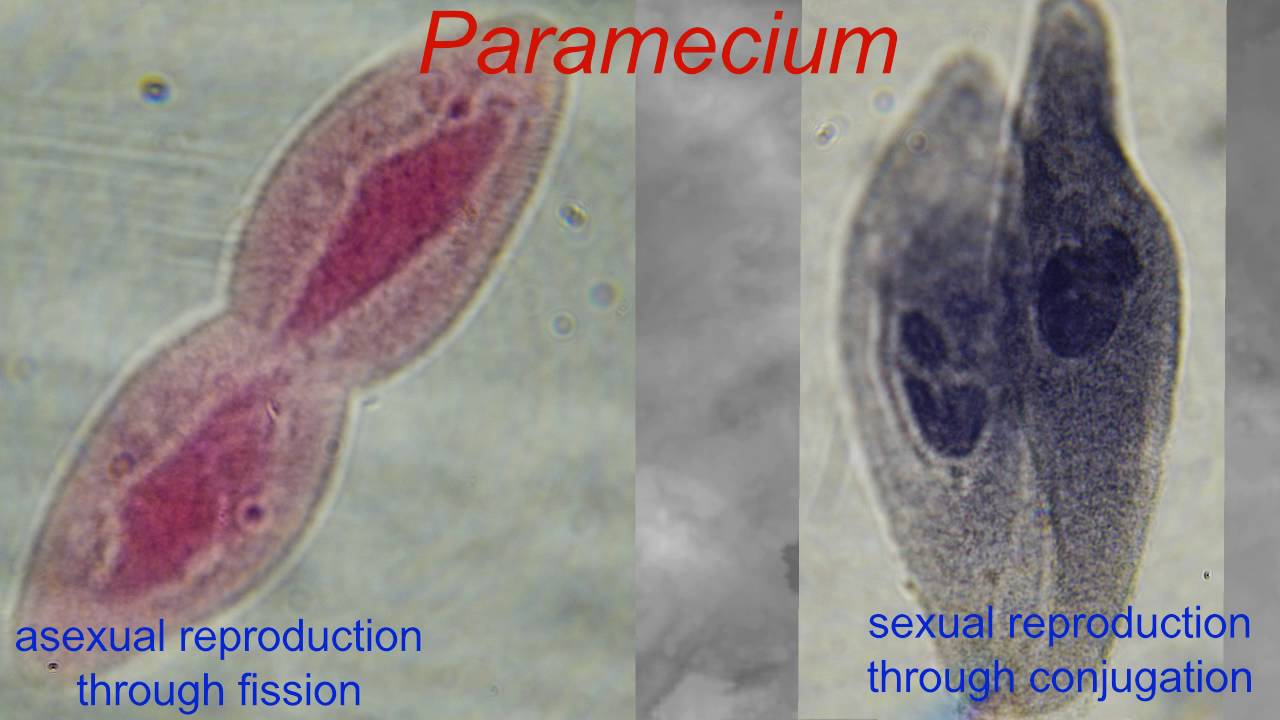 Asexual and sexual reproduction in paramecium