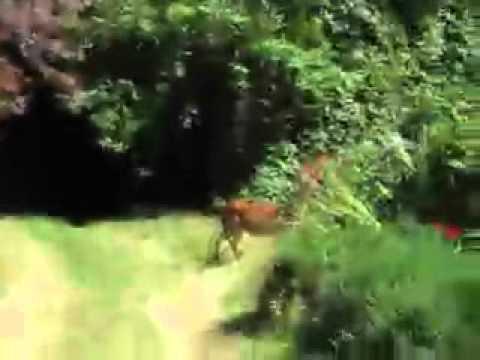 Deer In the Yard on Gambier Island, British Columbia