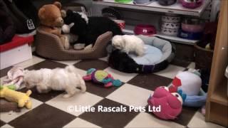 Little Rascals Uk Breeders New Litter Of Zuchon Puppiesw
