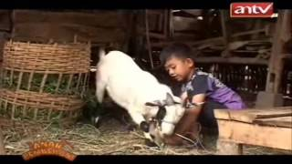 [ANTV] ANAK PEMBERANI-Kambing Renggong(FULL VERSION)