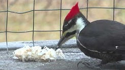 Spectacular view of rare pileated woodpecker eating, including her tongue