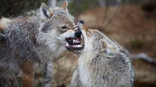 When Wolves Attack