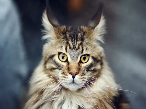 Maine Coon Cat Breed | Description and Traits of Maine Coon Cats