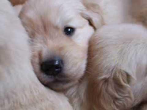 Golden Retriever Puppies - Snow, Mel e seus filhotes