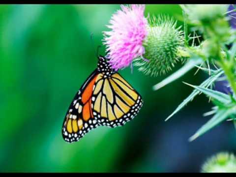 RAMA RAMA - butterfly