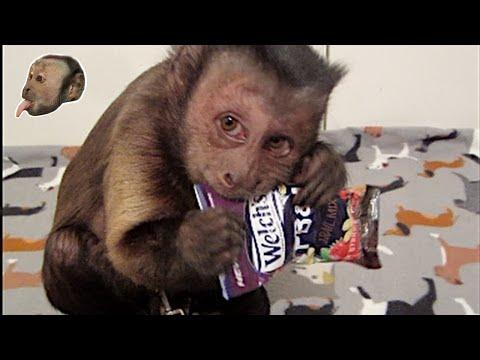 Capuchin Monkey LOVES Welch's PBJ Trail Mix