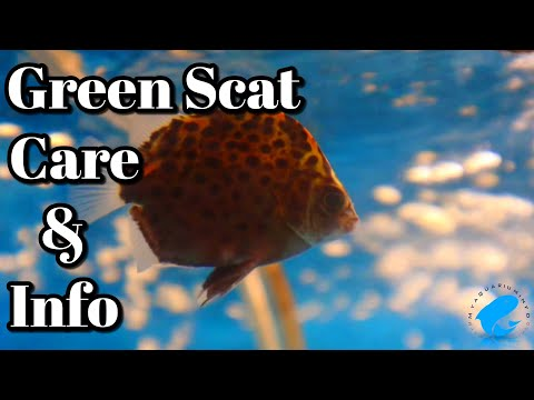 Green Scat Care And Information - Freshwater Scat (Scatophagus Argus)