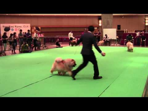 2015 F C I  International Dog Show Chow Chow Group