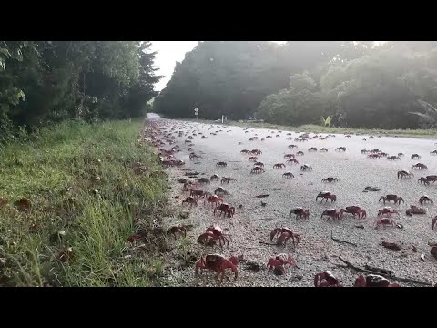 Millions Of Red Crabs Migrate Island