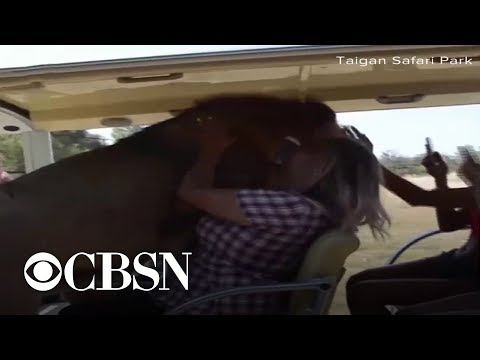 Elizabethany - VIDEO: Lion climbs into safari car