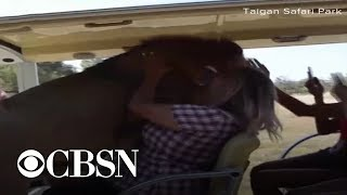 Lion climbs into tourist safari vehicle in Crimea