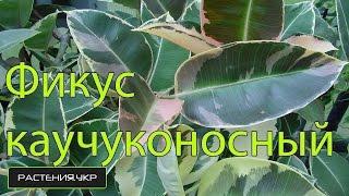Фикус уход в домашних условиях / фикус каучуконосный(, 2014-10-11T06:00:01.000Z)