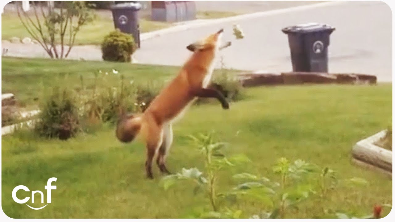Superbe Fox Steals Dog Toy | Jealous Pup   YouTube