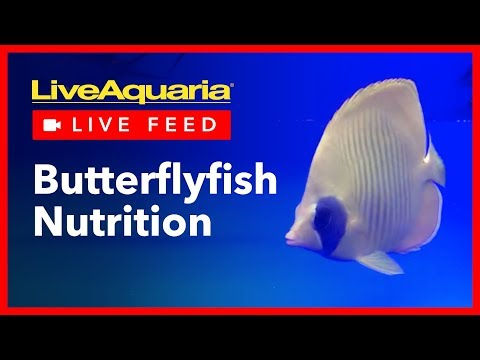 Butterflyfish Nutrition - LiveAquaria Live Feed - November 19, 2018