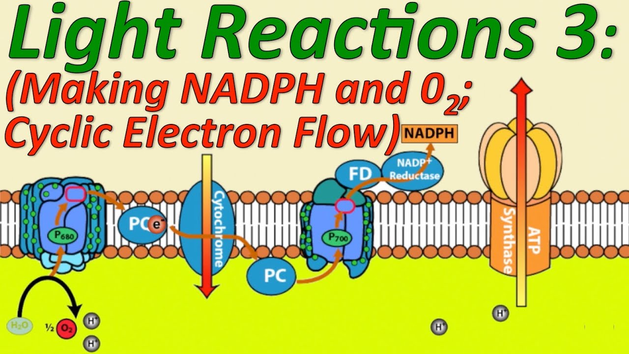 Photosynthesis The Light Reactions Part 3 Making O2 And Nadph Cyclic Electron Flow