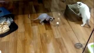 Кошки. Кошки видео. Игры кошки в гостинице для кошек.