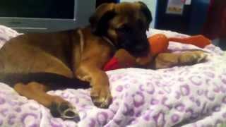 Precious My German Shepherd/border Collie Mix Sleepy!