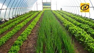Бизнес план по выращиванию зелени в теплице на продажу + видео