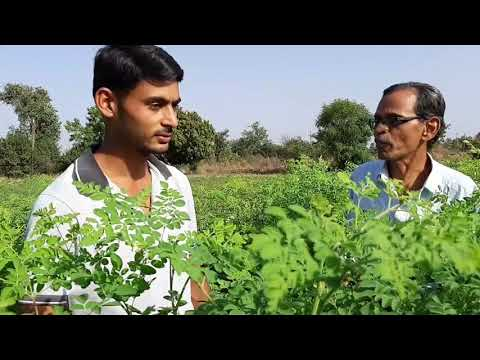 Agriculture Of moringa leaves