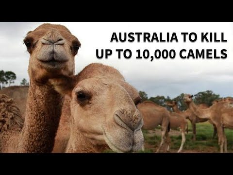 Australia Is Going To Kill 10,000 Camels To Save Indigenous Species