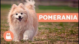 El perro pomerania  Características y cuidados