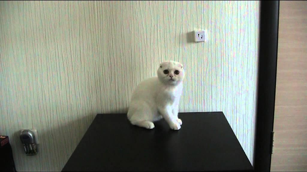 Объявления о продаже взрослых кошек и котят в москве: шотландские, вислоухие, британские, бенгальские, персидские коты, мейн-куны по доступным.