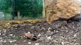 Black Tailed Prairie Dog in Opole Zoo 2 Piesek Preriowy - Nieświszczuk w Zoo Opole