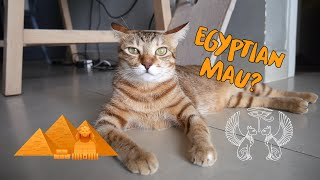 Cat VS Human speed test! Is my cat an Egyptian Mau Breed?
