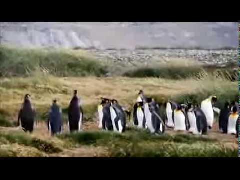 Le chant des pingouins rois