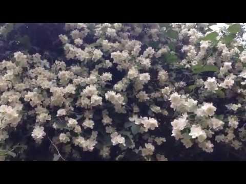 Огромный куст жасмина в цвету
