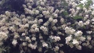 Огромный куст жасмина в цвету(Когда я смотрю это видео, я чувствую запах жасмина - так красиво и так обильно цветет этот старый куст.Полови..., 2016-07-04T18:35:59.000Z)