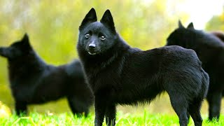 Schipperke  Ultimate Breed Facts You Need To Know!