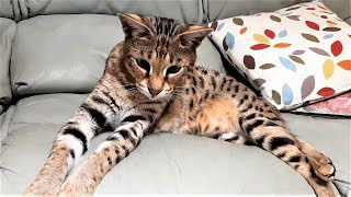 5 Different Savannah cat MEOWS and what they mean