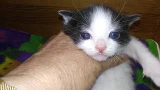 Akari's Black & White Male Kitten Born 6/21/2020