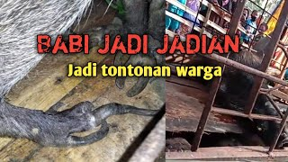 What is Viral Pork ngepet SiiALL !!! caught by the residents
